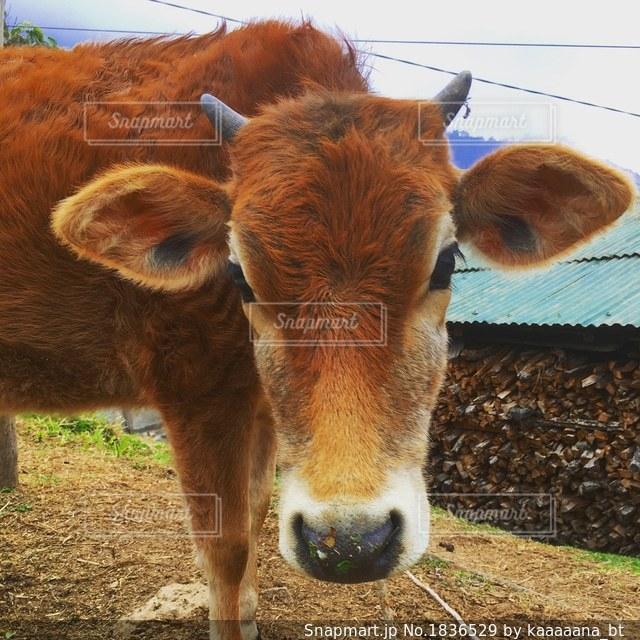ドアップの牛さん🐄の写真・画像素材[1836529]