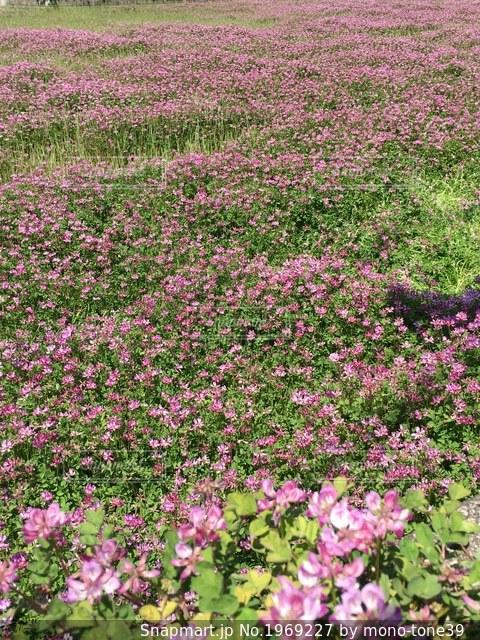 一面花畑の写真・画像素材[1969227]
