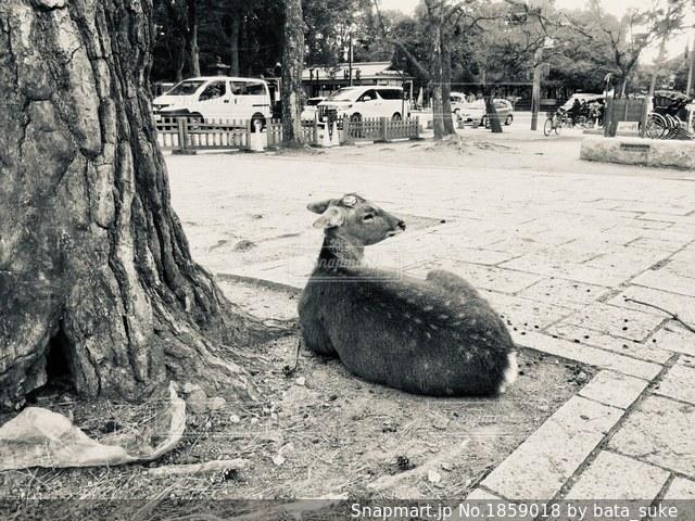 見返り鹿の写真・画像素材[1859018]