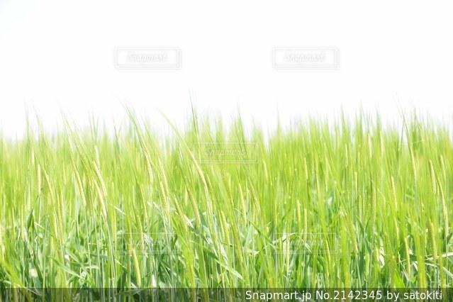 キラキラの麦の写真・画像素材[2142345]