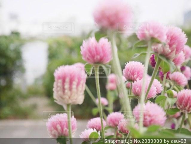 ピンクの千日紅の写真・画像素材[2080000]