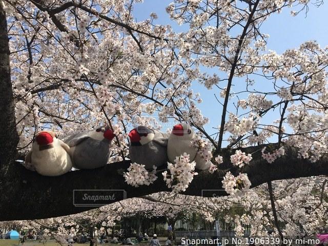 桜の木に座っている文鳥たちの写真・画像素材[1906339]