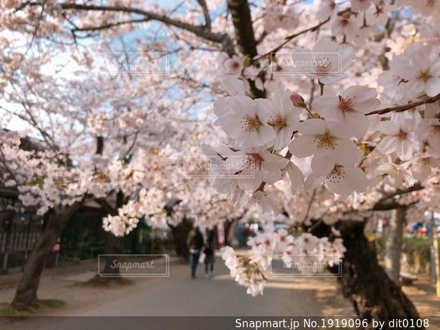 桜の季節の写真・画像素材[1919096]