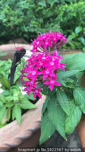 ウカレタ蝶の写真・画像素材[1922567]