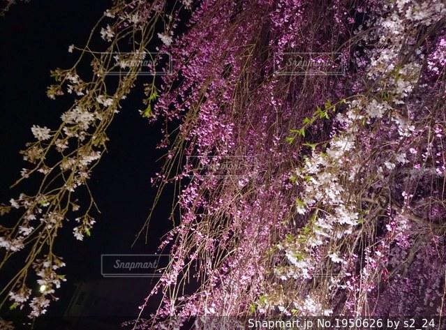 枝垂れ桜の写真・画像素材[1950626]