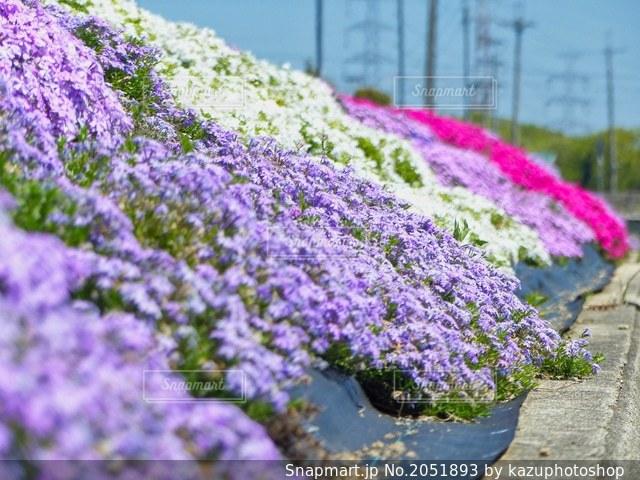 兵庫 稲美町 芝桜ロードの写真・画像素材[2051893]