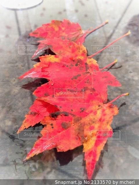 紅葉したメープルリーフの写真・画像素材[2133570]