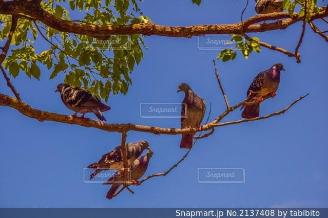 樹上の鳩の群れの写真・画像素材[2137408]