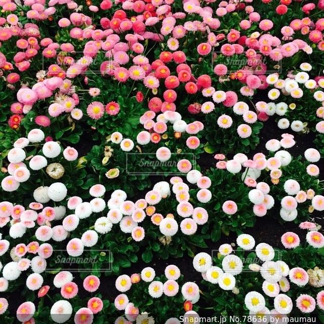 お花畑の写真・画像素材[78636]