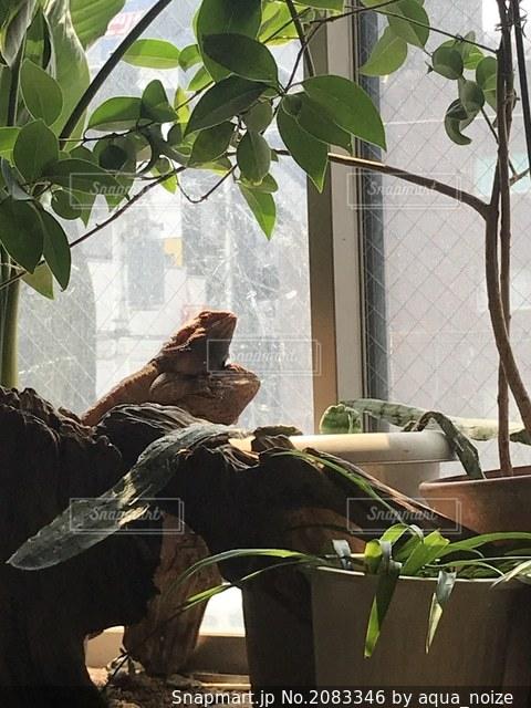 観葉植物のある窓辺でトカゲ2匹がおんぶの写真・画像素材[2083346]