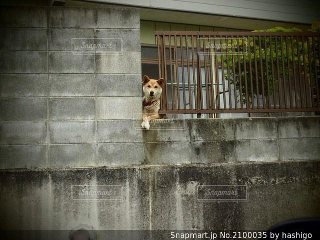 塀から顔を出す犬の写真・画像素材[2100035]