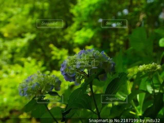 咲きかけの紫陽花の写真・画像素材[2187199]