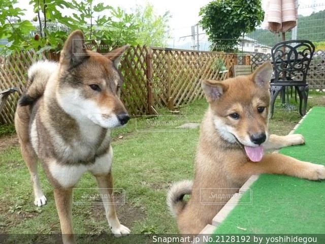 四国犬の親子の写真・画像素材[2128192]