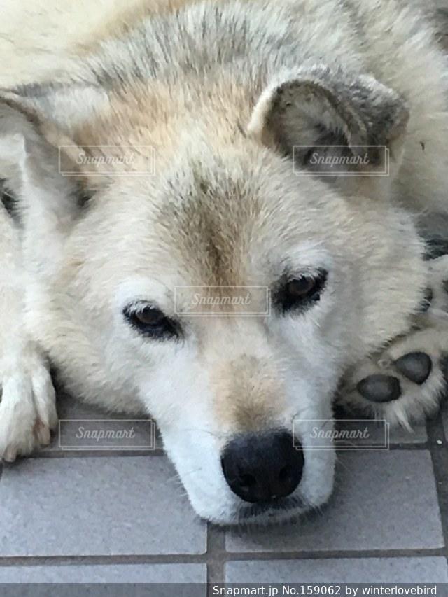 犬の写真・画像素材[159062]