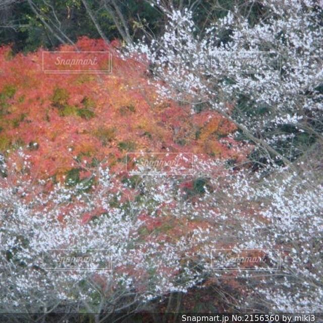 桜と紅葉の写真・画像素材[2156360]