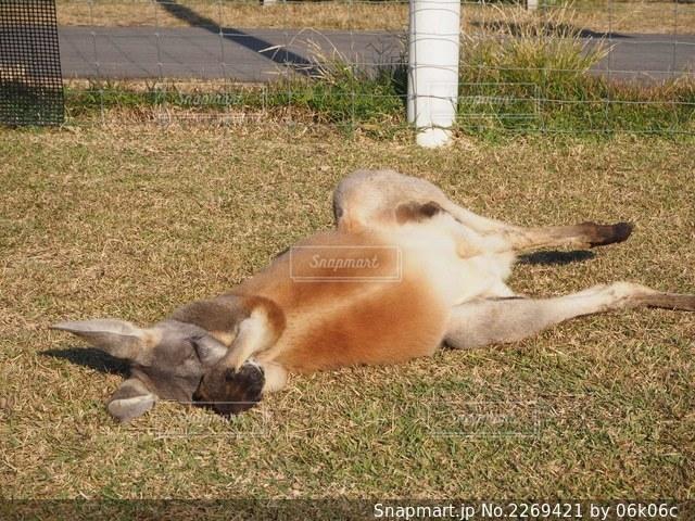 横たわるカンガルーの写真・画像素材[2269421]