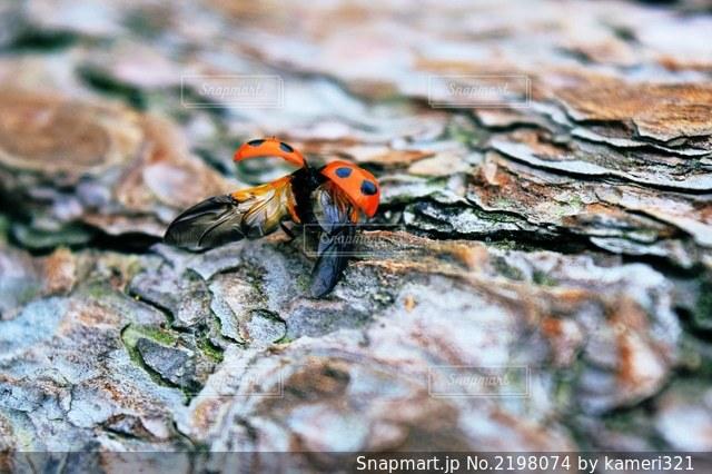 飛び立つてんとう虫の写真・画像素材[2198074]