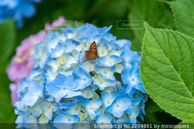 紫陽花の写真・画像素材[2204861]