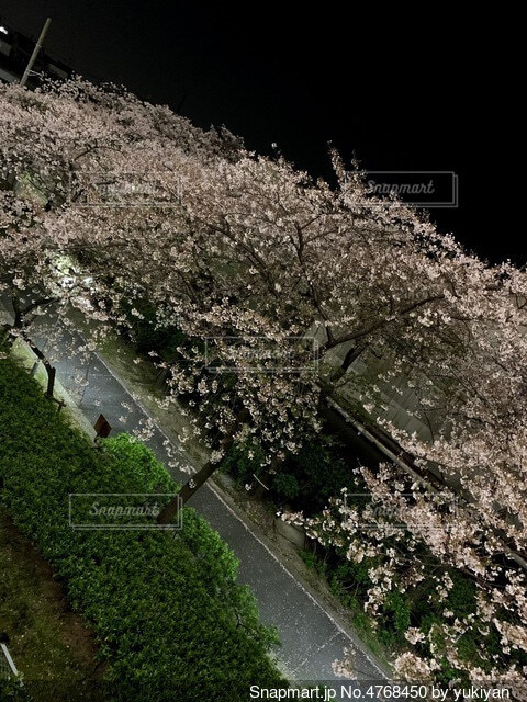 夜桜の写真・画像素材[4768450]