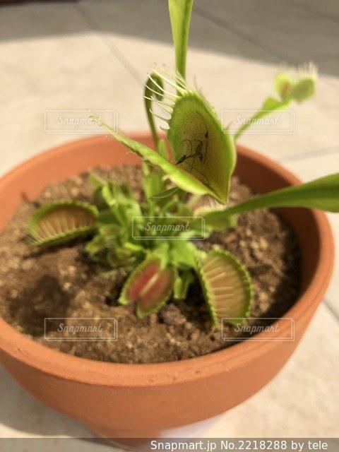 虫(獲物)を捕らえた食虫植物の写真・画像素材[2218288]