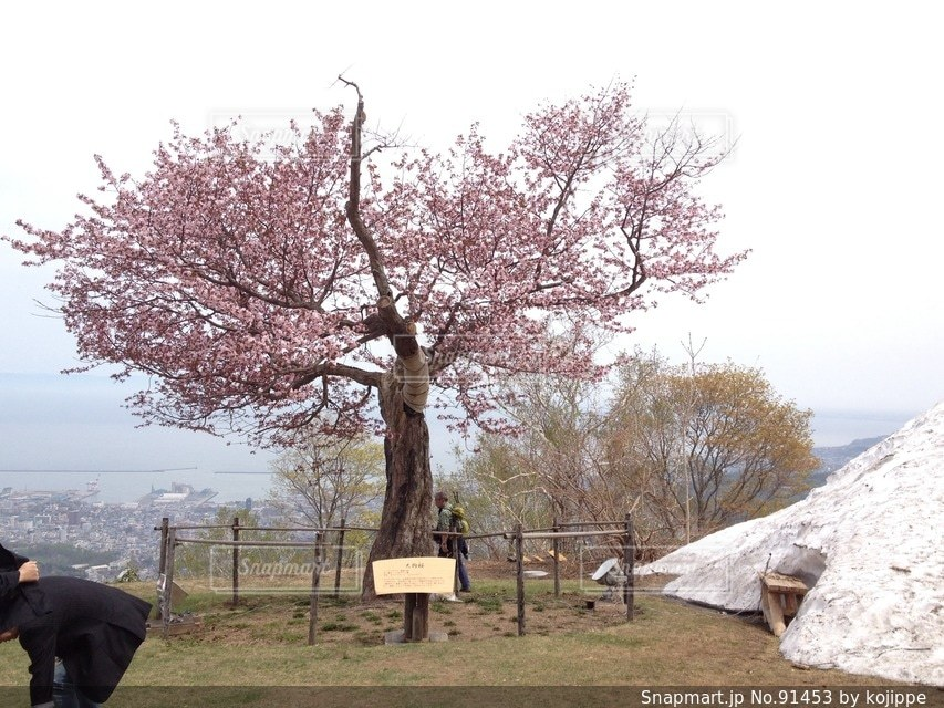 山に咲いている桜と残雪。遠くに日本海。の写真・画像素材[91453]
