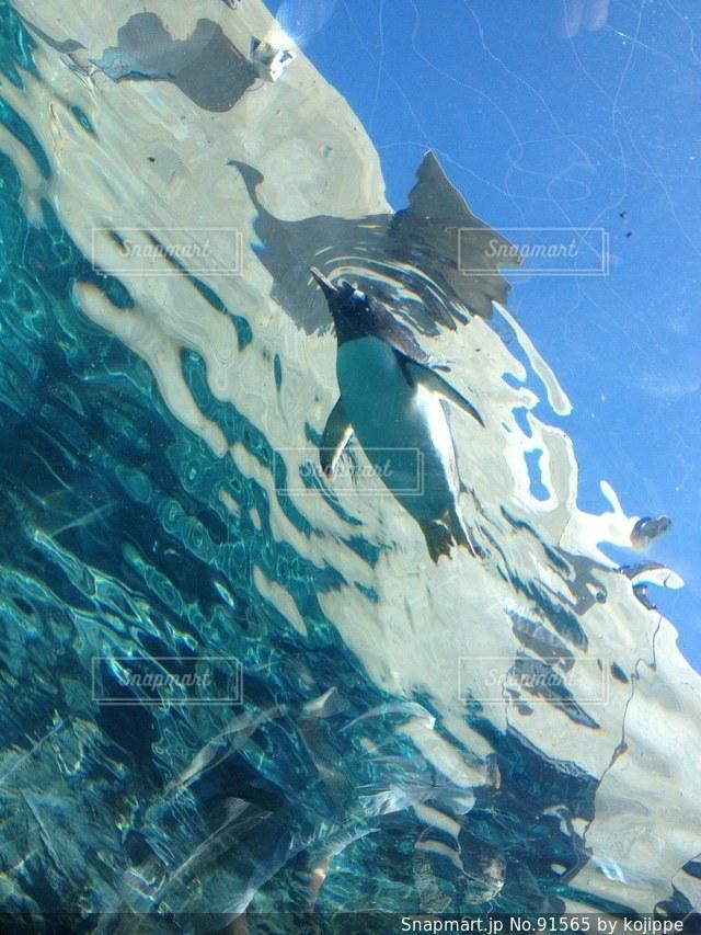 動物園のペンギンが泳いでいる様子。晴れて気持ちいいの写真・画像素材[91565]