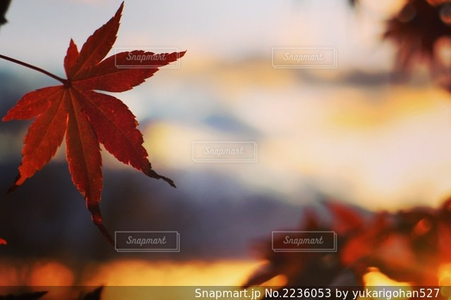 紅葉越しの夕焼けの写真・画像素材[2236053]