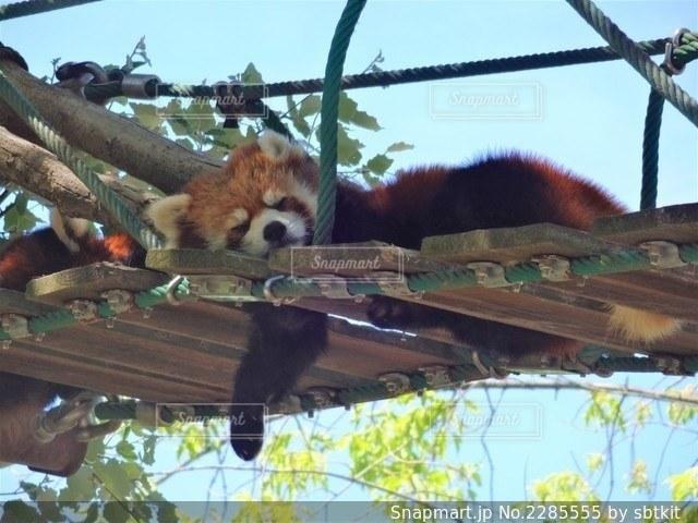 レッサーパンダの寝顔の写真・画像素材[2285555]