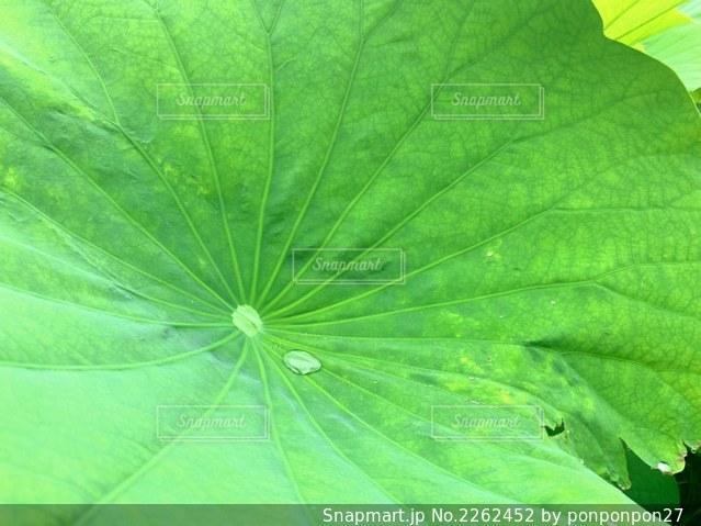 上野公園 蓮の葉の上の雫の写真・画像素材[2262452]
