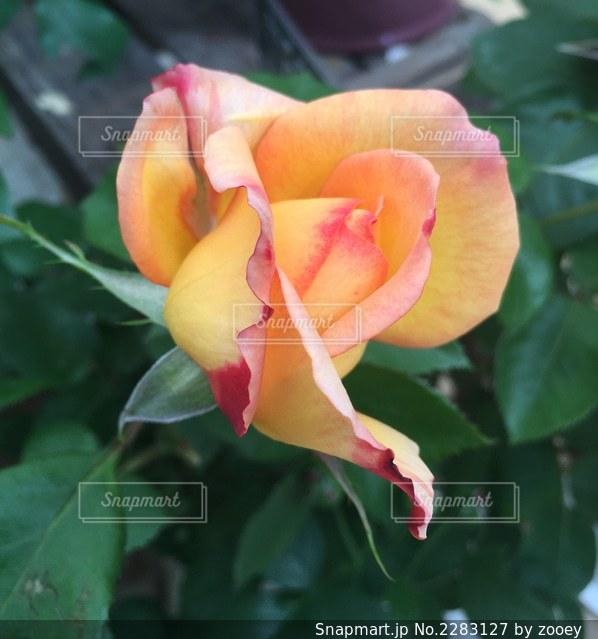 黄色と赤の混ざったバラの写真・画像素材[2283127]