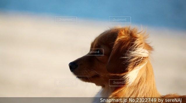 犬の横顔の写真・画像素材[2322749]