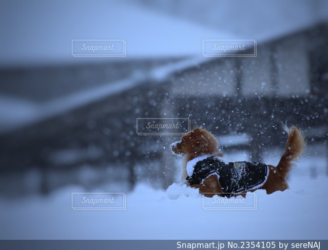 雪の中の犬の写真・画像素材[2354105]