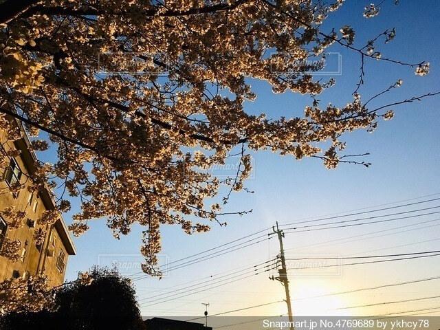 夕陽と桜の写真・画像素材[4769689]
