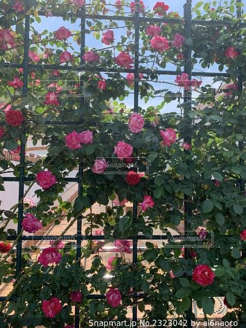 薔薇のカーテンの写真・画像素材[2323042]