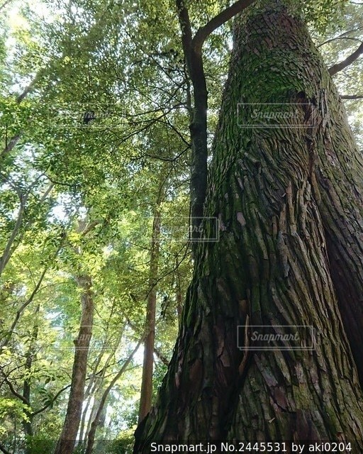森の中の大きな木の写真・画像素材[2445531]