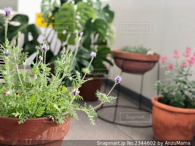 ラベンダー鉢植えの写真・画像素材[2344602]