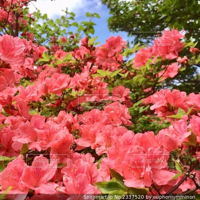 植物のピンクの花のクローズアップの写真・画像素材[2337520]