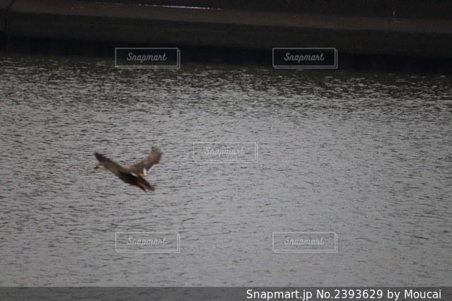 川の上を飛ぶ鳥の写真・画像素材[2393629]