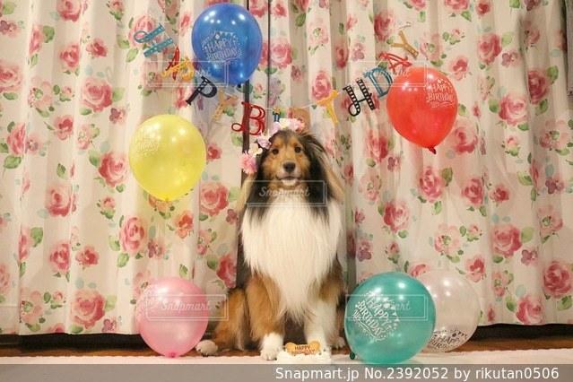 誕生日のシェルティ全身とケーキの写真・画像素材[2392052]