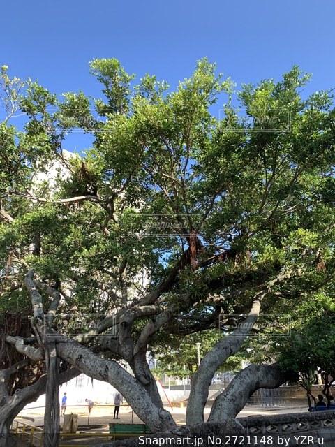 大きいガジュマルの木の写真・画像素材[2721148]