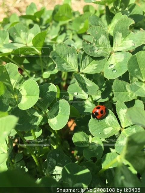 幸せを運ぶてんとう虫の写真・画像素材[2408108]