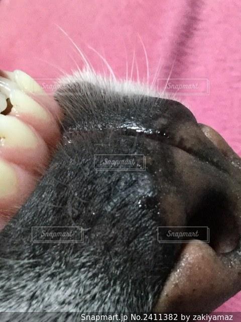 ラブラドール 口 鼻の写真・画像素材[2411382]