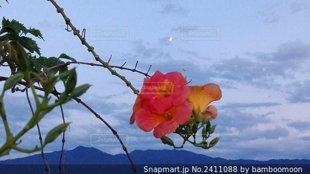 月の夕暮れと南国の花の写真・画像素材[2411088]
