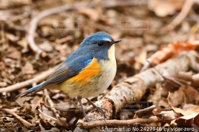 ごはんを探す青い鳥 ルリビタキの写真・画像素材[2427946]