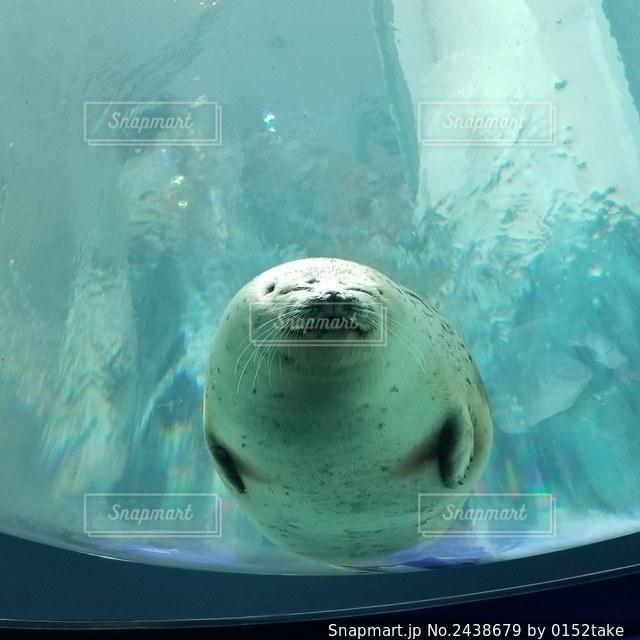 海遊館 アザラシの写真・画像素材[2438679]