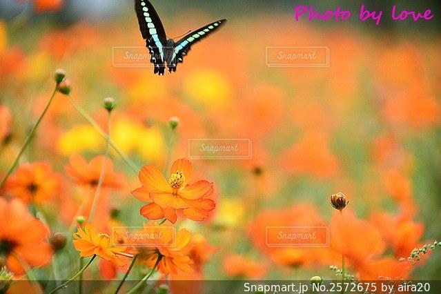 アゲハ蝶とキバナコスモスの写真・画像素材[2572675]