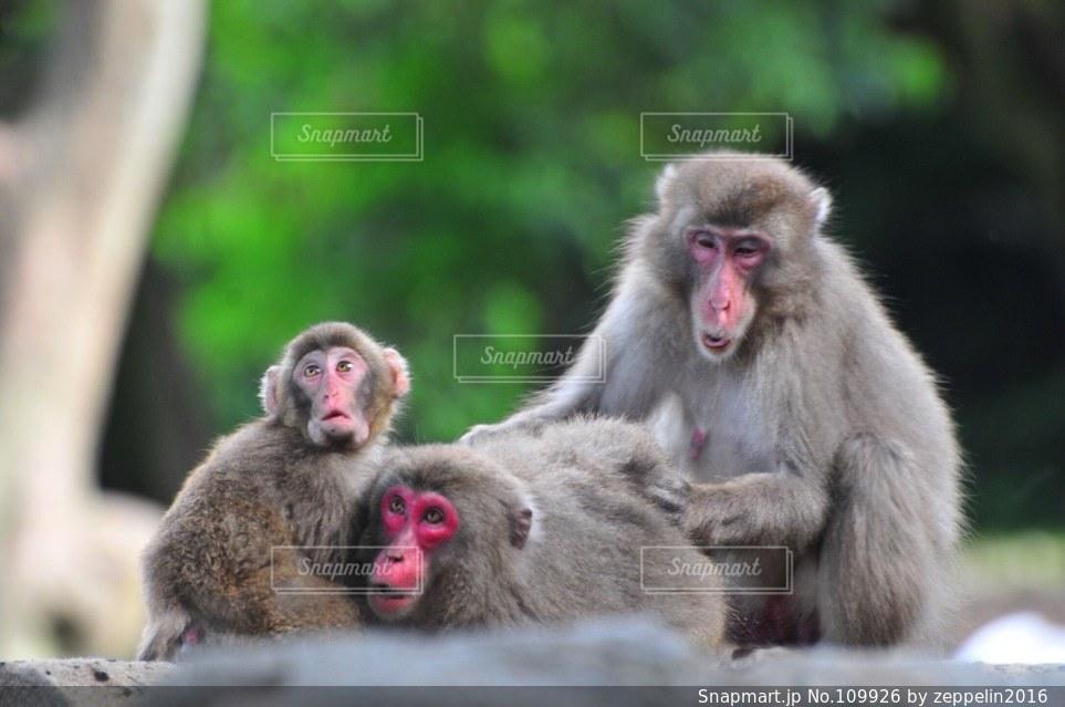猿の写真・画像素材[109926]