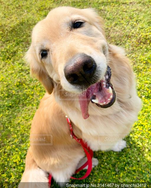 草の中に座っているゴールデンレトリバーの写真・画像素材[3141467]
