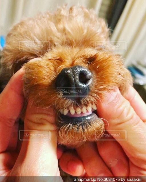 小さな犬を抱いた手の写真・画像素材[3034075]