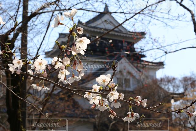 桜の写真・画像素材[121438]